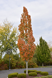 Armstrong Maple (Acer x freemanii 'Armstrong') at Maidstone Tree Farm