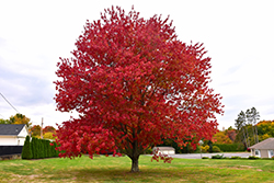 Red Maple (Acer rubrum) at Maidstone Tree Farm