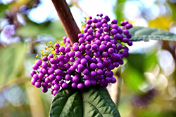 Profusion Beautyberry (Callicarpa bodinieri 'Profusion') at Maidstone Tree Farm