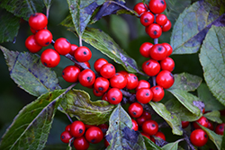 Berry Nice® Winterberry (Ilex verticillata 'Spriber') at Maidstone Tree Farm