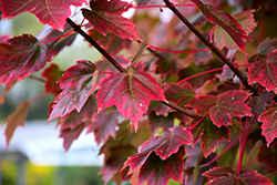 Brandywine Red Maple (Acer rubrum 'Brandywine') at Maidstone Tree Farm