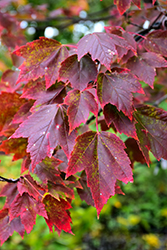 Red Sunset Red Maple (Acer rubrum 'Red Sunset') at Maidstone Tree Farm