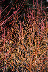 Midwinter Fire Dogwood (Cornus sanguinea 'Midwinter Fire') at Maidstone Tree Farm