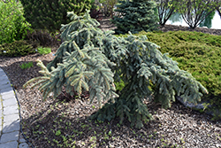 Weeping Blue Spruce (Picea pungens 'Pendula') at Maidstone Tree Farm