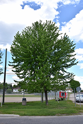 Silver Maple (Acer saccharinum) at Maidstone Tree Farm