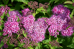 Anthony Waterer Spirea (Spiraea x bumalda 'Anthony Waterer') at Maidstone Tree Farm