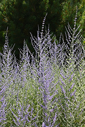 Filigran Russian Sage (Perovskia 'Filigran') at Maidstone Tree Farm