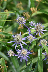 Blue Star Alpine Sea Holly (Eryngium alpinum 'Blue Star') at Maidstone Tree Farm