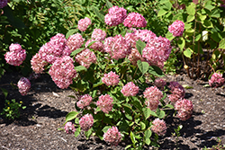 Invincibelle® Ruby Smooth Hydrangea (Hydrangea arborescens 'NCHA3') at Maidstone Tree Farm