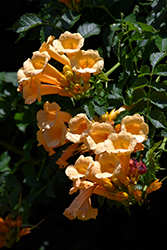 Yellow Trumpetvine (Campsis radicans 'Flava') at Maidstone Tree Farm