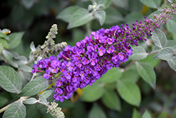 Miss Violet Butterfly Bush (Buddleia 'Miss Violet') at Maidstone Tree Farm