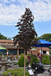 Crimson Sunset Maple (Acer 'JFS-KW202') at Maidstone Tree Farm