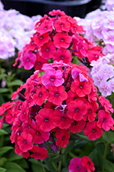 Red Riding Hood Garden Phlox (Phlox paniculata 'Red Riding Hood') at Maidstone Tree Farm