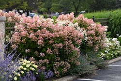 Quick Fire® Hydrangea (Hydrangea paniculata 'Bulk') at Maidstone Tree Farm
