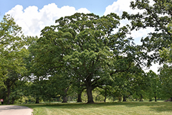 White Oak (Quercus alba) at Maidstone Tree Farm