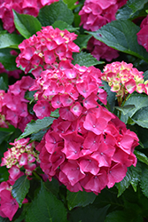 Cityline® Paris Hydrangea (Hydrangea macrophylla 'Paris Rapa') at Maidstone Tree Farm