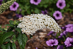 Pugster® White Butterfly Bush (Buddleia 'SMNBDW') at Maidstone Tree Farm