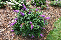 Pugster® Periwinkle Butterfly Bush (Buddleia 'SMNBDO') at Maidstone Tree Farm