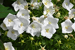 White Clips Bellflower (Campanula carpatica 'White Clips') at Maidstone Tree Farm