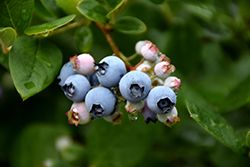 Elliott Blueberry (Vaccinium corymbosum 'Elliott') at Maidstone Tree Farm
