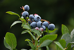 Northland Blueberry (Vaccinium corymbosum 'Northland') at Maidstone Tree Farm