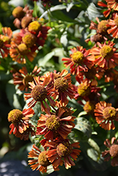 Ruby Tuesday Sneezeweed (Helenium 'Ruby Tuesday') at Maidstone Tree Farm
