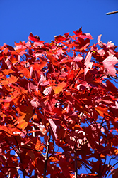 October Glory Red Maple (Acer rubrum 'October Glory') at Maidstone Tree Farm