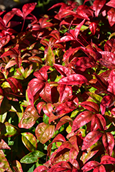 Fire Power Nandina (Nandina domestica 'Fire Power') at Maidstone Tree Farm