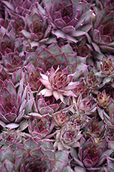 Red Beauty Hens And Chicks (Sempervivum 'Red Beauty') at Maidstone Tree Farm