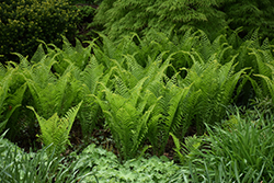 Ostrich Fern (Matteuccia struthiopteris) at Maidstone Tree Farm