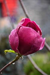 Black Tulip Magnolia (Magnolia 'Black Tulip') at Maidstone Tree Farm